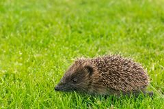 Baby hedgehog running across grass. Closeup of baby European hedgehog running across grass Royalty Free Stock Photography