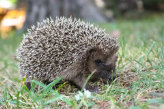 Baby hedgehog`s adventure Royalty Free Stock Photo