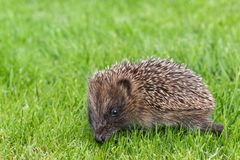 Baby hedgehog searching for food on grass lawn. Closeup of baby hedgehog searching for food on grass lawn stock image