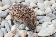 Baby hedgehog searching for food on pebbles. Closeup of baby hedgehog searching for food on pebbles stock images