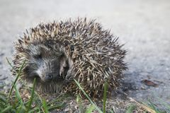 A baby hedgehog is sleeping in the garden. On the ground royalty free stock image