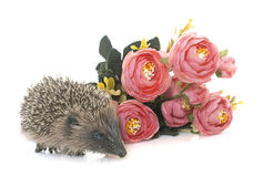 Baby hedgehog in studio. Baby hedgehog in front of white background stock photography