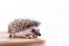 A Baby hedgehog Royalty Free Stock Photo