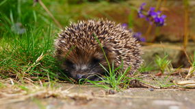 Baby Hedgehog. A tiny baby hedgehog in the garden stock photography