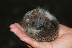 Baby Hedgehog. Tiny baby hedgehog in sombody's hand stock images