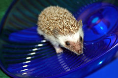 Baby hedgehog on wheel. Baby hedgehog running on wheel stock photo