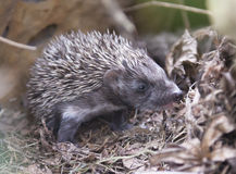 Baby hedgehog. Wild baby hedgehog near his lair between the rocks stock image