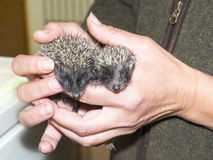 Baby hedgehogs in hand royalty free stock photography