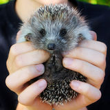 Baby hedgehogs in human hands Royalty Free Stock Images