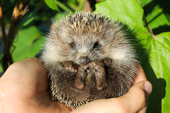 Baby hedgehogs in human hands Royalty Free Stock Photo