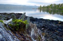 Baby hemlock tree growing from a stump on the shore in the early morning light. Nolan Point, northern Vancouver Island, British Columbia stock image