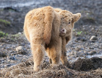 Baby Highland Calf. A closeup of a fluffy baby Highland calf turning to look at camera Stock Photography