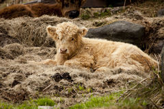 Baby Highland Cow Royalty Free Stock Photography