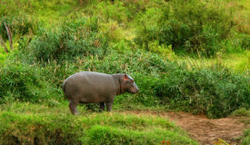 Baby hippo Royalty Free Stock Photos