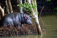 Baby Hippo Royalty Free Stock Photo
