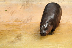 Baby Hippo. Baby Pygmy Hippo going down in a pool of water, in a South Florida zoo Royalty Free Stock Image