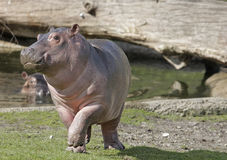Baby Hippo. Cute baby Hippo jumping around on grass Stock Images