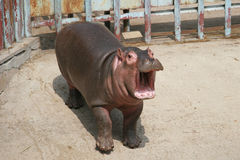 Baby hippo. Hippo is African large animal Stock Photography