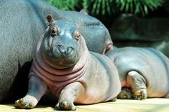 Baby hippo. And his mom, cooling relax stock images