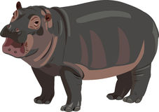 Baby hippo Stock Photos