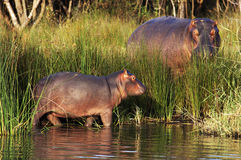 Baby hippo and bull by lake. Side view of baby and bull hippo stood by side of lake in tall green reeds stock images