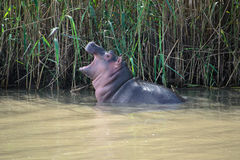 Baby hippo at the Isimangaliso wetland park, South Africa Royalty Free Stock Image