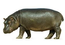 Baby Hippo Isolated on White Background Royalty Free Stock Image