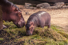 Baby hippo and mom eating food. Stock Image