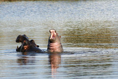 Baby hippo on moms back Stock Image