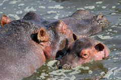 Baby hippo with mother Royalty Free Stock Image