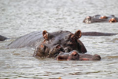 Baby hippo with mother Royalty Free Stock Images