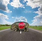 Baby Hippo , passage is closed Stock Photos