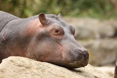 Baby hippo restings it head on a rock Royalty Free Stock Images