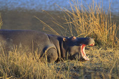 Baby Hippo Yawning. Young Hippopotamus yawning on bank in South African reserve Stock Image