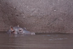 Baby hippopotamus Stock Photography