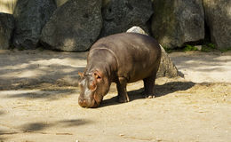 Baby hippopotamus Royalty Free Stock Photo