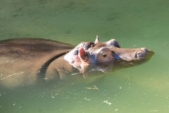 Baby Hippopotamus. Baby Hippo at the Los Angeles Zoo Royalty Free Stock Photos