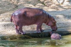 Baby Hippopotamus and its mother was born in captivity. At Chiang Mai public zoo Royalty Free Stock Image