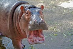 Baby hippopotamus opening mouth and looking at the camera stock images
