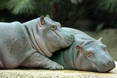 Baby Hippos. Cute baby hippo siblings cuddled up Royalty Free Stock Images