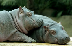 Baby Hippos. Affectionate image of two sleeping baby hippos Stock Photo