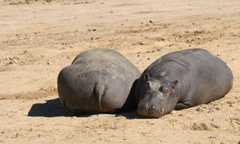 Baby Hippos Stock Photos