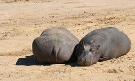 Baby Hippos Stock Photos