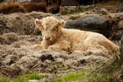 Baby-Hochland-Kuh Lizenzfreie Stockfotografie