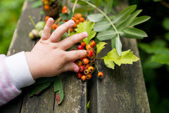 Baby holding autumn red berries Royalty Free Stock Images