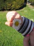 Baby holding daisy Stock Photography