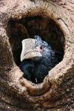 Baby Hornbill Stock Image