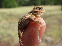 Baby horned lizard on finger Royalty Free Stock Image