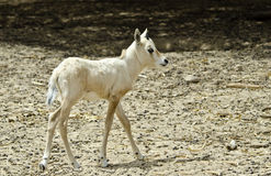 Baby of horned oryx (Oryx leucoryx ) Royalty Free Stock Image