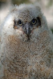 Baby Horned Owl. Portrait of a baby Great Horned Owl stock image